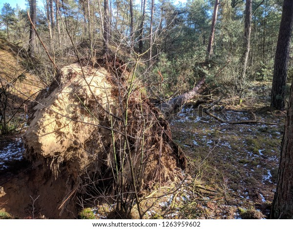 root ball of an uprooted coniferous tree in forest on sandy soil