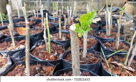 root a cutting  Mulberry