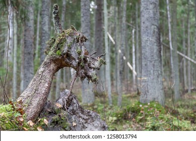 The root of a fallen tree in the forest