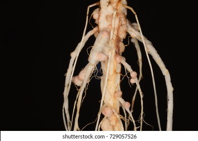 Root nodules occur on the roots of plants (legume) that associate with symbiotic nitrogen-fixing bacteria (known as Rhizobia). Within legume nodules, nitrogen gas is converted into ammonia.
