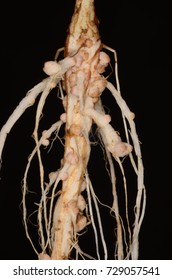 Root nodules occur on the roots of plants (legume) that associate with symbiotic nitrogen-fixing bacteria. Within legume nodules, nitrogen gas is converted into ammonia.