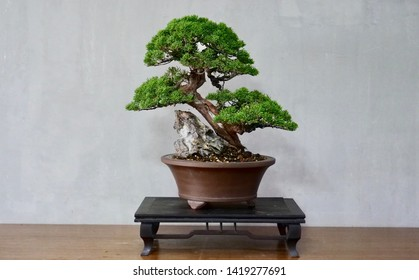 Root over rock style of bonsai