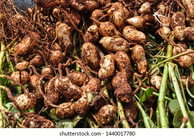 root of peanut soon after harvest, seed still with soil and seed for drying