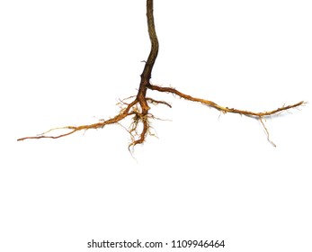 Root plant isolated on white background