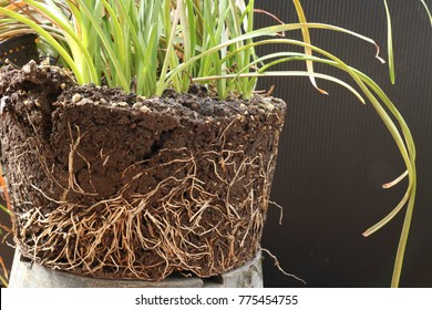 The root of the plant is in the soil rich in nutrients suitable for cultivation. Show the roots of bulb plants that were planted in pots.