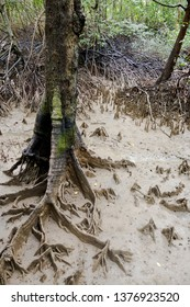 Root system of mangrove trees in Mangrove forest, swamp, Krabi, Thailand, Southeast Asia