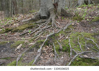 Root system on old tree in forest with green moss in spring with sticks, leaves and twigs on forest floor in Midwest