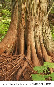 Root system of a western red cedar