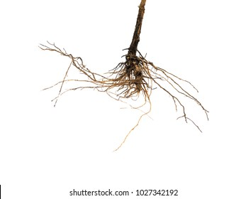 Root tree isolated on white background