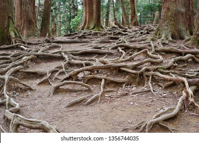 The root of the trees at Kurama Temple in Kyoto, Japan
