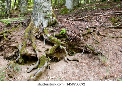 Roots of ancient trees of a forest in Terminillo, Italy. Exposed twisted roots. Beech tree roots.