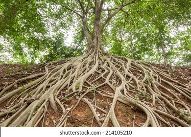 The roots of the banyan tree, which appeared on the ground.