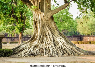 The roots of the Bodhi tree