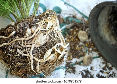 The roots and bulbs of plant (Asparagus meyeri, Foxtail Fern) are full of pots. It's time to change the big pot. Natural life. Abundance of tree.