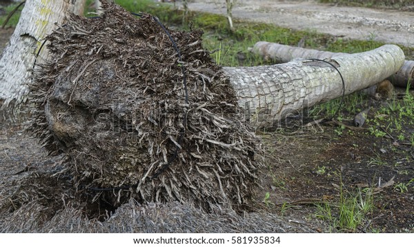 The roots of coconut tree fallen to the ground.