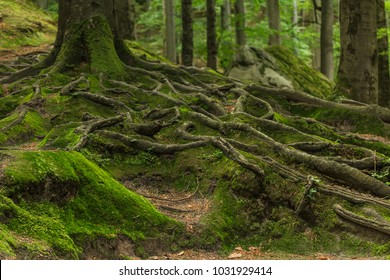 Roots covered with moss in the forest. Photographed on a sunny day in the spring in the Ukrainian Carpathians. Beautiful intertwining roots of trees covered with moss and greens in the forest.