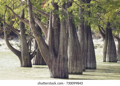 roots of cypress tree