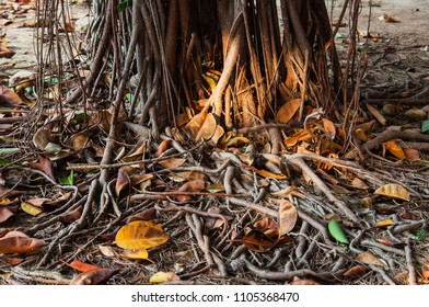 Roots of ficus tree in  park