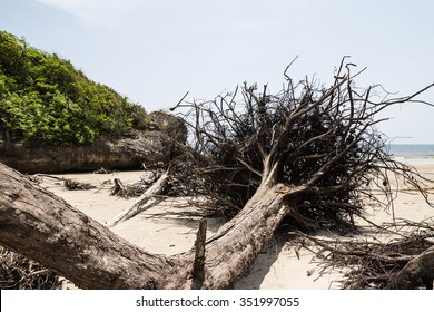 The roots of a giant fallen tree on the beach