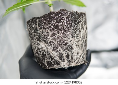 Roots In the hands of the grower. the beautiful roots of the marijuana plant. Macro healthy cannabis roots. CBD in roots Marijuana. Professional cannabis cultivation grow.
