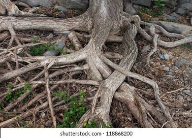 Roots from a large tree trunk exposed due to erosion or drought tangled and spreading on a forest floor as trust and integrity in business or finance as a strong foundation for growth and prosperity.