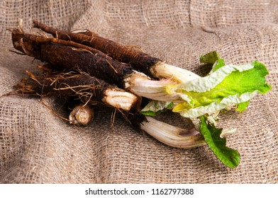 Roots and leaves of burdock (Arctium lappa). The taproot of young burdock plants can be harvested and eaten as a root vegetable