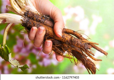 Roots and leaves of burdock (Arctium lappa) in woman's hand.The taproot of young burdock plants can be harvested and eaten as a root vegetable.