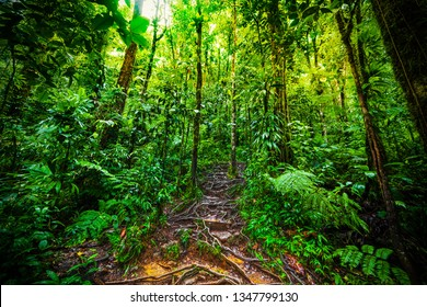 Roots and luxuriant vegetation in Basse Terre jungle in Guadeloupe, French west indies. Lesser Antilles, Caribbean