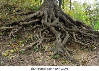 Roots of the old giant oak