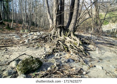 roots of an old tree in forest