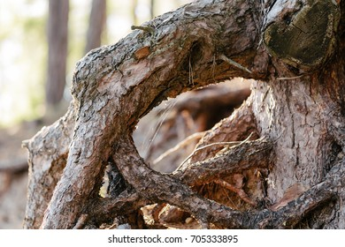 roots of a pine tree close up