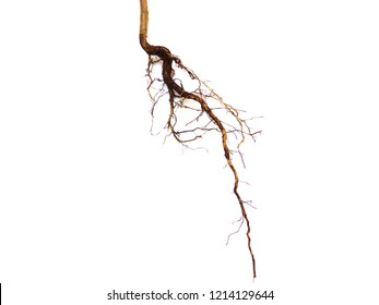 Roots plant isolated on white background, roots tree