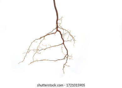 Roots of a plant on a white background