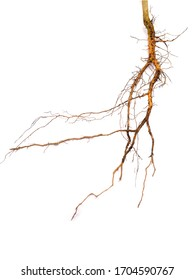 Roots of plants isplaed on white background, roots tree
