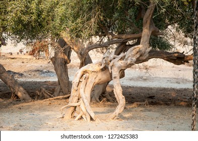 The roots of Savadora Persica Plant in the desert