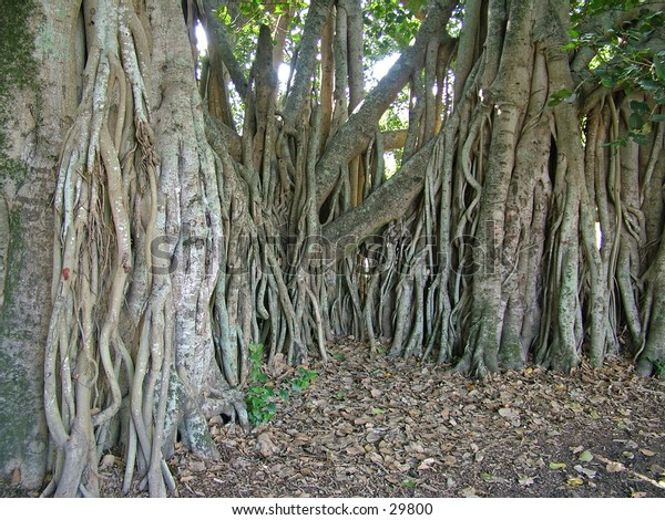 The roots of a single Fig tree