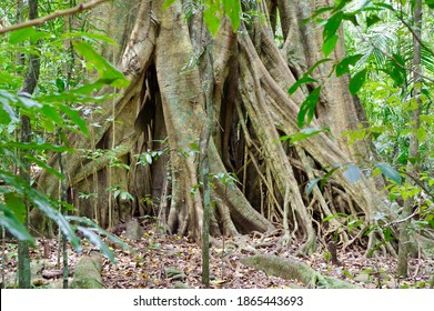 Roots of strangler fig spread out on the ground of Mary Cairncross Scenic Reserve