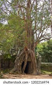 Roots that surround the ruins of the temple of angkor wat,cambodia