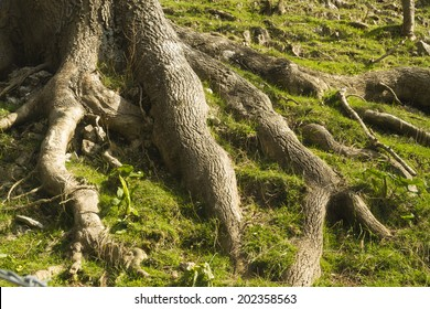 Roots of a tree exposed on grassy bank.