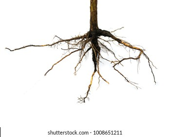 Roots of tree isolated on white background