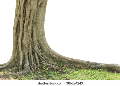 Roots of a tree isolated on white background