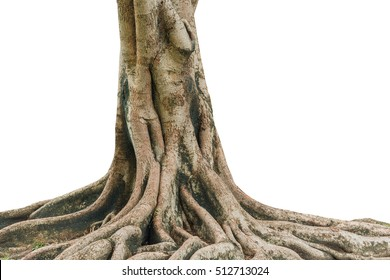 Roots of a tree isolated on white background. This has clipping path.