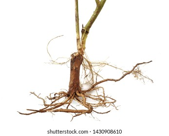 Roots of tree on white background.