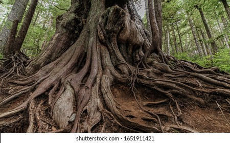 Roots and tronk of a huge Red Cedar tree in Vancouver Island II, North-America, Canada, British Colombia, August 2015