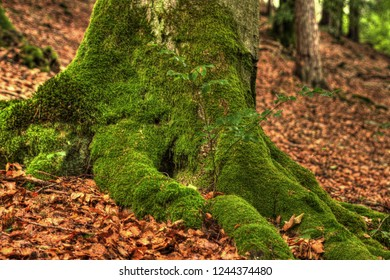 Rootstock of a beech