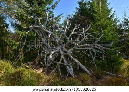 Rootstock; nature trail; Black Forest; Germany;