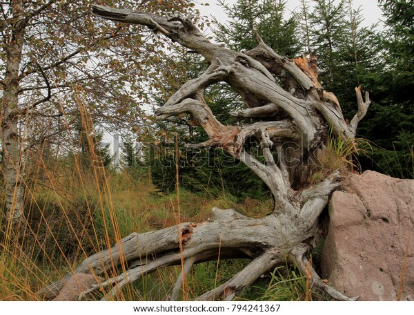 Rootstock, Notherm Black Forest, Germany
