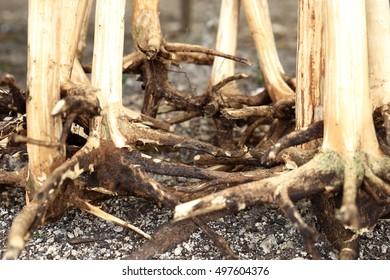 Roots-Vanuatu