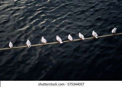 Rope above the water with seagulls sitting in a row in the same direction except for one exceptional individual. In the background is dark water surface, which is out of focus.
