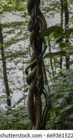Rope vines hang from trees on the mountainside in the Smoky Mountains.